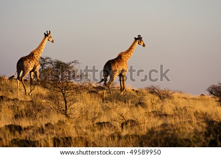 two giraffes walking away into the african sunset - stock photo