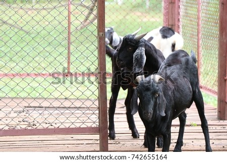 Two Goat animals livestock in farm fence