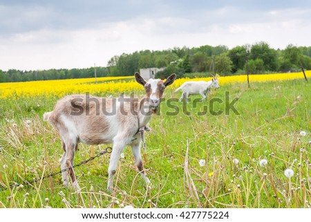 Two goats grazing on the meadow landscape