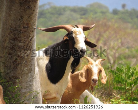 Two goats looking out behind the tree