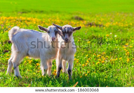 Two goats on a green lawn at summer - stock photo