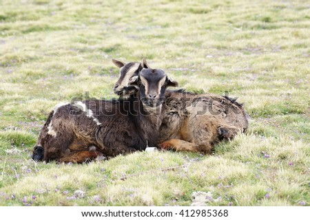Two goats on pasture in Geech camp, Simien mountains, Ethiopia