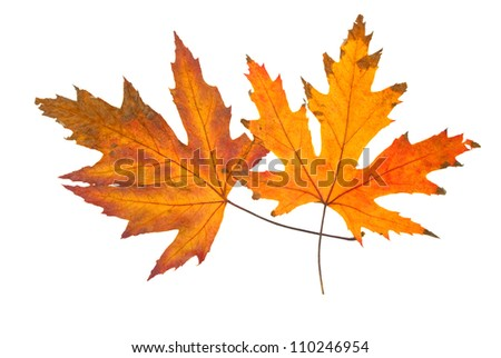 Two golden autumn leaves isolated on a white background using clipping path - stock photo