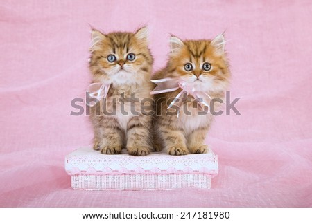 Two Golden Chinchilla Persian kittens wearing pink ribbon bows sitting on pink gift box on pink background  - stock photo