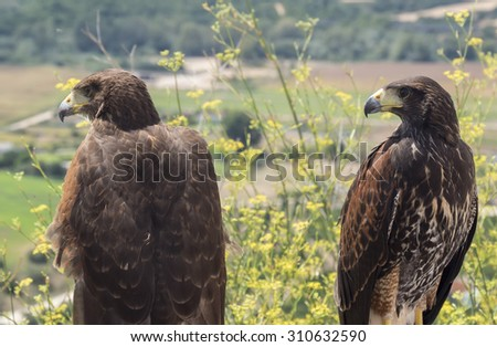 Two golden eagles resting in the sun - stock photo