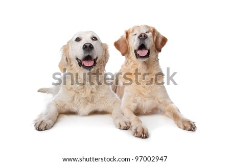 Two Golden Retriever dogs in front of a white background. Dog on the right is blind.
