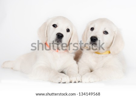two golden retriever puppies lying down - stock photo