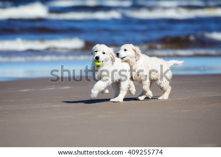 two golden retriever puppies playing on the beach - stock photo