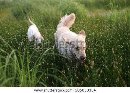 Two golden retrievers in the grass of the field running fast. Summer early morning dogs walking in the countryside