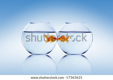 two Goldfish and Aquarium falling in love - stock photo