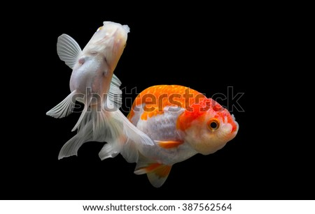 Two goldfish isolated on black background. File contains a clipping path.