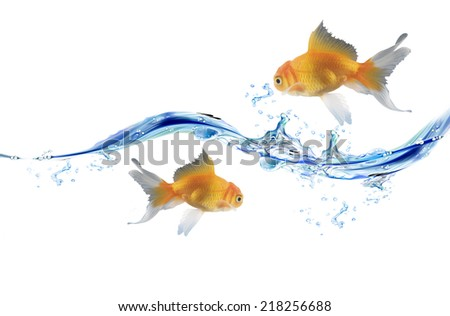Two Goldfishes and blue water drops. water splash and water bubbles over white background - stock photo