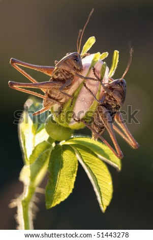Two grasshoppers sits on the flower in evening light - stock photo