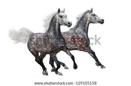 Two gray arabian mares gallop on white background - stock photo