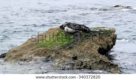 Two gray seals mother and child in California.