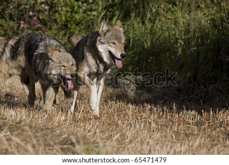 Two Gray Wolfs running together in a meadow - stock photo