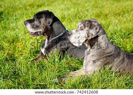 Two great dane dog
