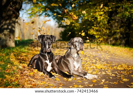 Two great dane dogs