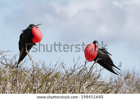 Two great Frigate Bird Exposing their pouches in Genovesa island, Galapagos - stock photo