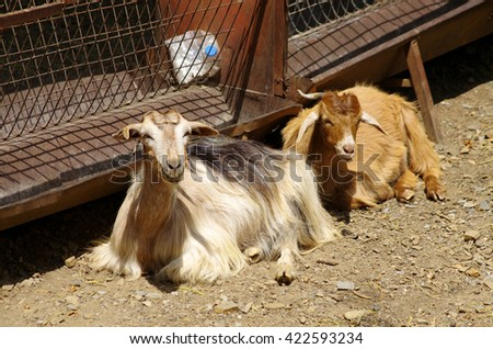 Two greek goats laying on the ground