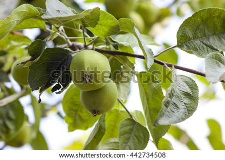 Two green apples growing on the tree - stock photo