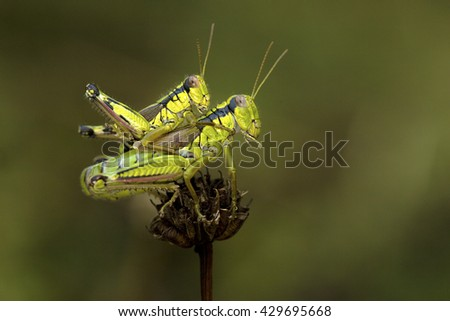 Two green crickets mating on a twig