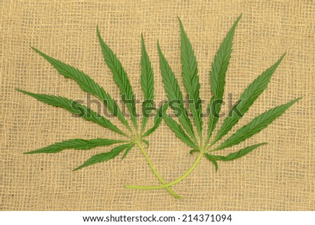 Two green hemp leaves on a burlap surface - stock photo