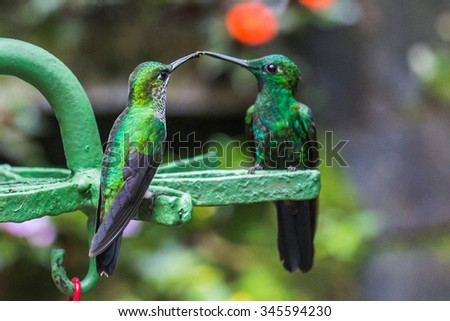 Two Green hummingbirds in the Monteverde region of Costa Rica - stock photo