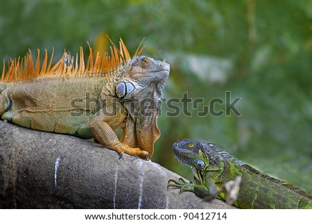 Two Green Iguanas facing each other - mating game.