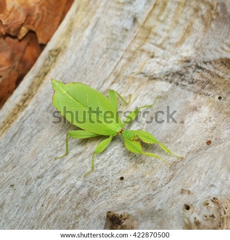Two green leaflike stick-insects Phyllium giganteum interacting on a tree trunk in natural environment - stock photo