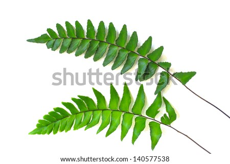 Two green leaves of fern isolated white background - stock photo