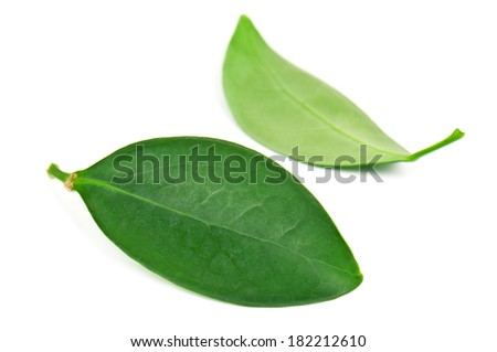 two green leaves on white background - stock photo