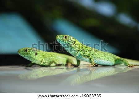 Two green lizards parallel sitting on mirror surface with similar reflections, closeup, focus on the foreground