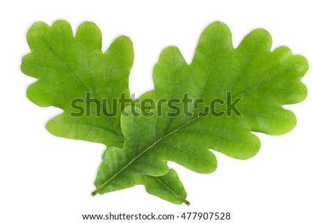 Two green oak leaves isolated on white background