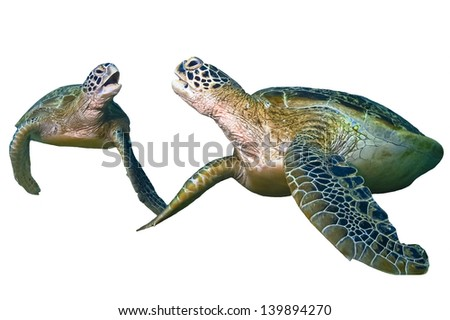 Two green sea turtle sitting isolated on white background - stock photo