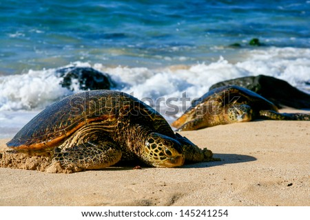 Two Green Sea Turtles - stock photo