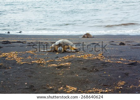 Two green sea turtles resting on a volcanic black sand beach - stock photo