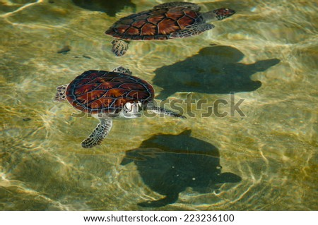 Two green sea turtles swimming in sunlit pool