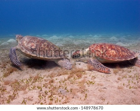 Two green turtles (Chelonia mydas) eating on the sandy bottom at shallow water. Marsa Alam, Red sea, Egypt - stock photo