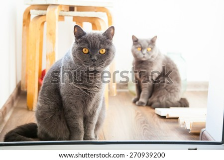 two grey british cats looking with wide opened orange eyes