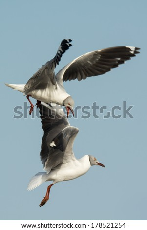 Two Grey-Headed Gulls (Larus cirrocephalus) battle in the air - stock photo