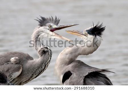 two grey heron - stock photo