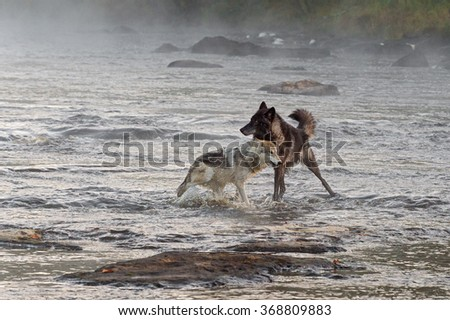 Two Grey Wolves (Canis lupus) Play in River - captive animal