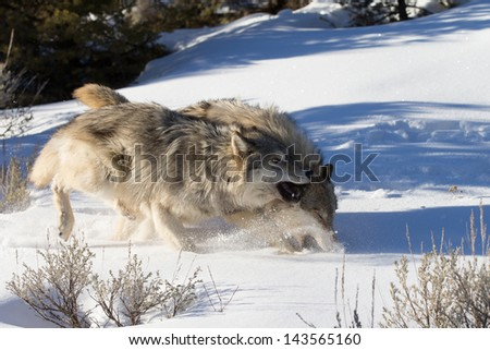 Two Grey Wolves in snow - stock photo