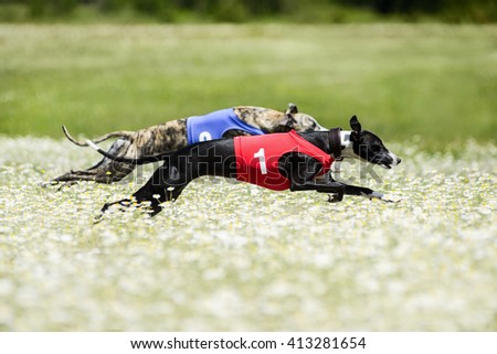 Two Greyhounds lure coursing competition in a beautiful chamomil - stock photo