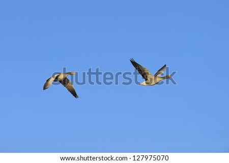 Two greylag geese (Anser anser) in flight against blue sky - stock photo