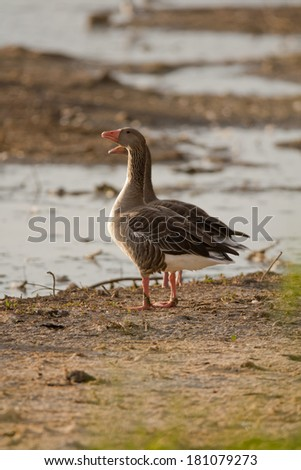 Two Greylag Goose perched on the ground
