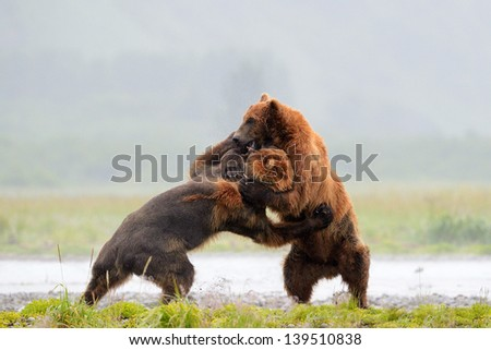 Two Grizzly Bears fighting - stock photo