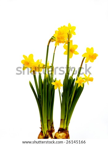 two groups of daffodil flowers over off-white