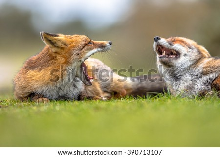 Two Growling European red foxes (Vulpes vulpes) lying in grass. The most abundant wild member of the Carnivora, being present across the entire Northern Hemisphere